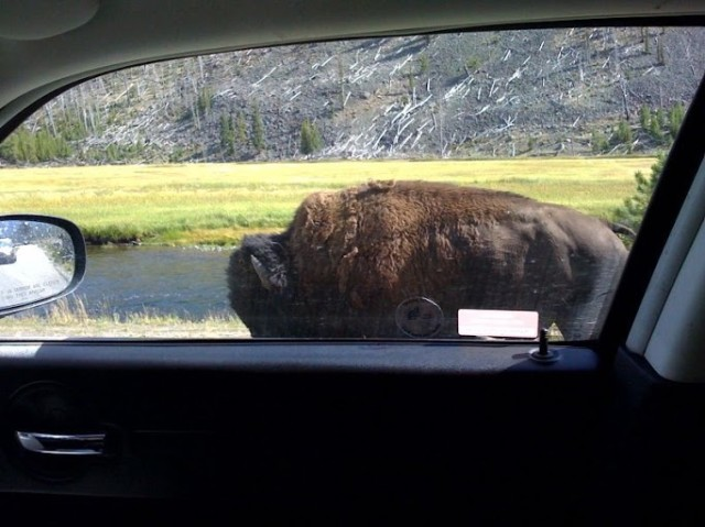 Bison Right Next to my car 2008 Yellowstone