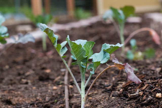 Broccoli in My Garden
