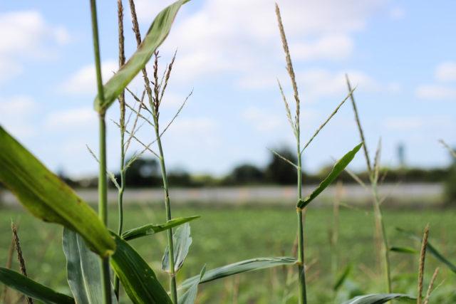 South Texas Maize Hondo-18